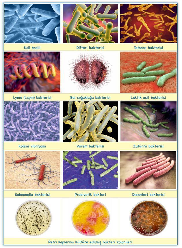 Bakteri Çeşitliliği