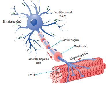 Motor Nörondan Kas Lifine İmpulsun İletimi