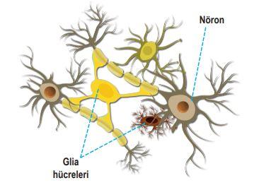 Sinir Hücreleri (Nöron) ve Yardımcı Hücreler (Glia Hücreleri)