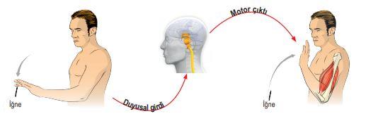 Sinir Sisteminde Nöronların İşleyişi