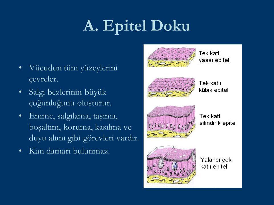 Vücudun en fazla hücre içeren dokusu aşağıdakilerden hangisidir?